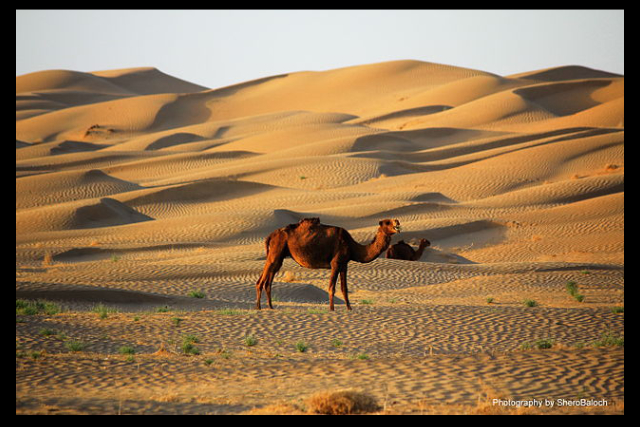 """Desert Camel"" by Sherbaz jamaldini - Own work. Licensed under CC BY-SA 4.0 via Wikimedia Commons - https://commons.wikimedia.org/wiki/File:Desert_Camel.JPG#/media/File:Desert_Camel.JPG"